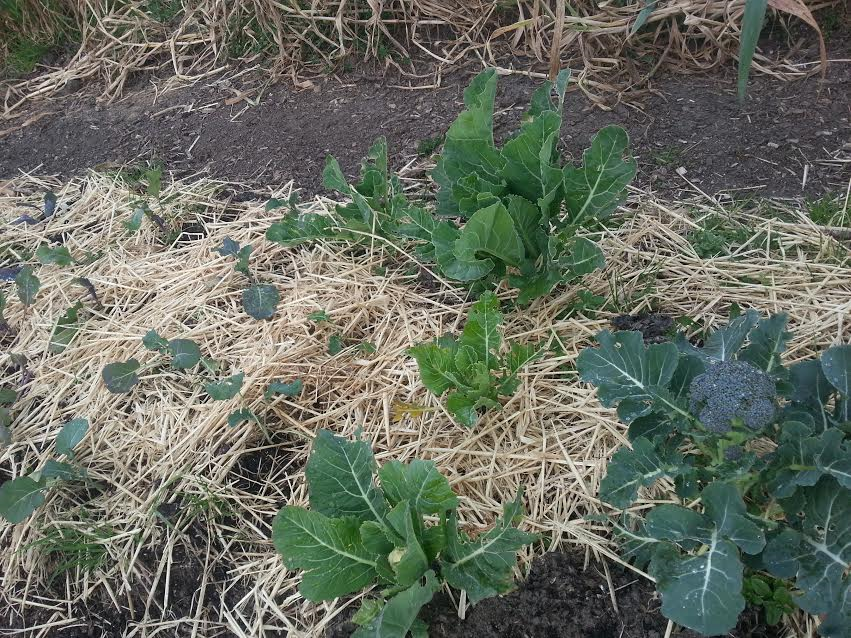 The only surviving brassicas from my planted seed starting to blossom! Wahoo!