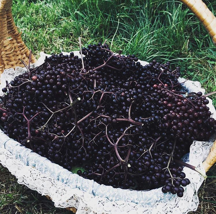 Picking elderberries from our bushes