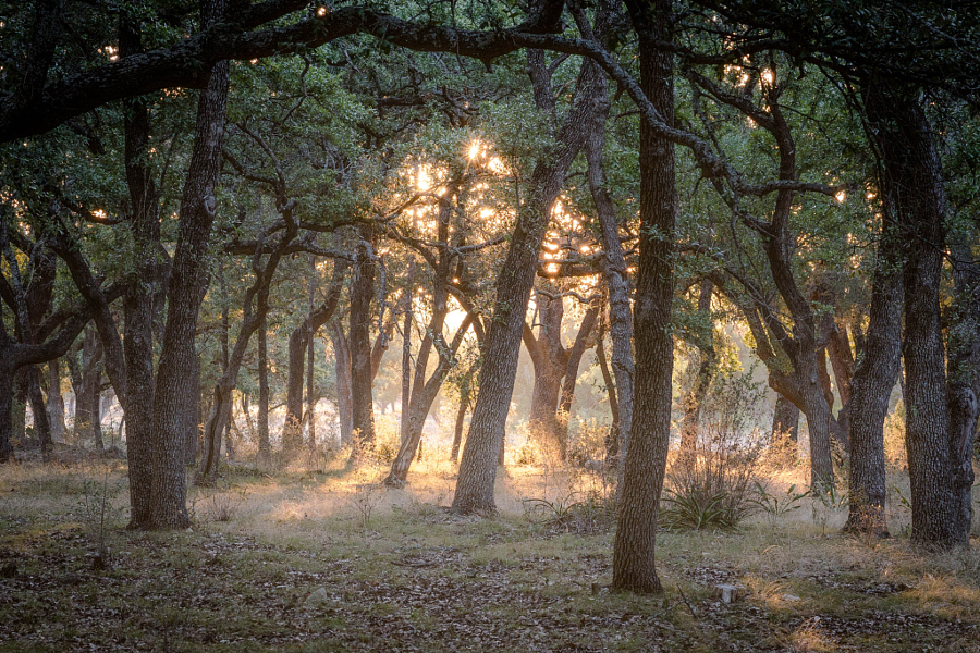 Oak Mott Sunrise