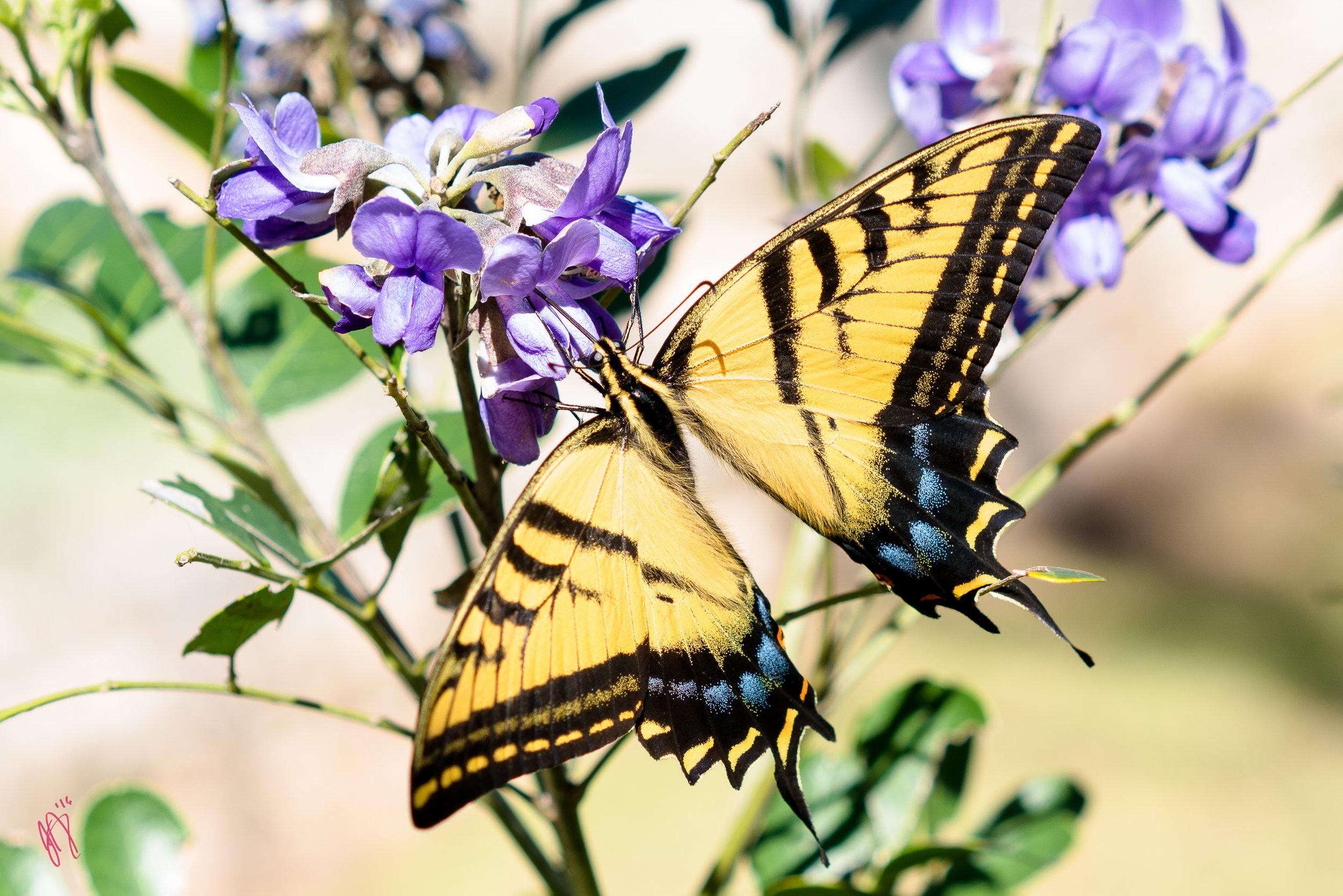 Mountain Laurel Butterfly Spring Break 2016 MF.jpg