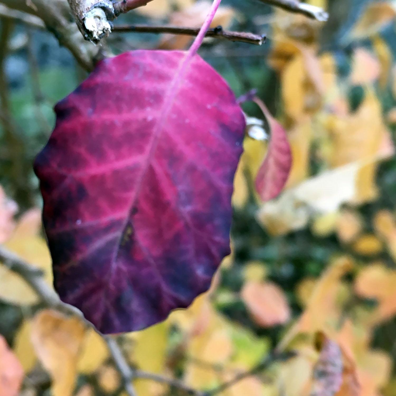 Deep Purple Leaf.jpg