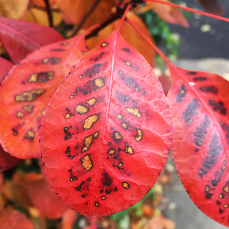 Red_yellow-leaves.jpg