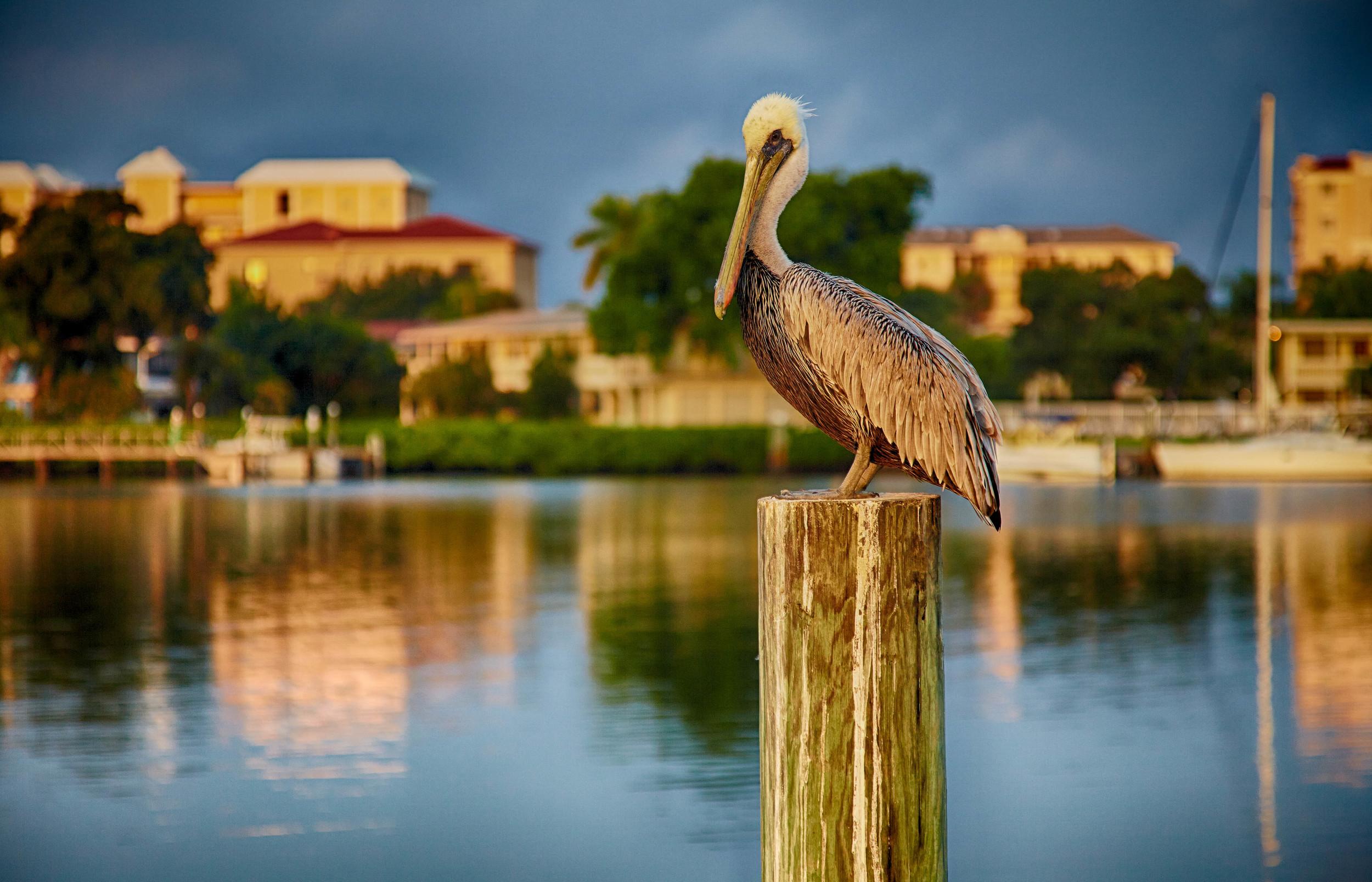 Florida_Pelican_disc2_962_HDR.jpg