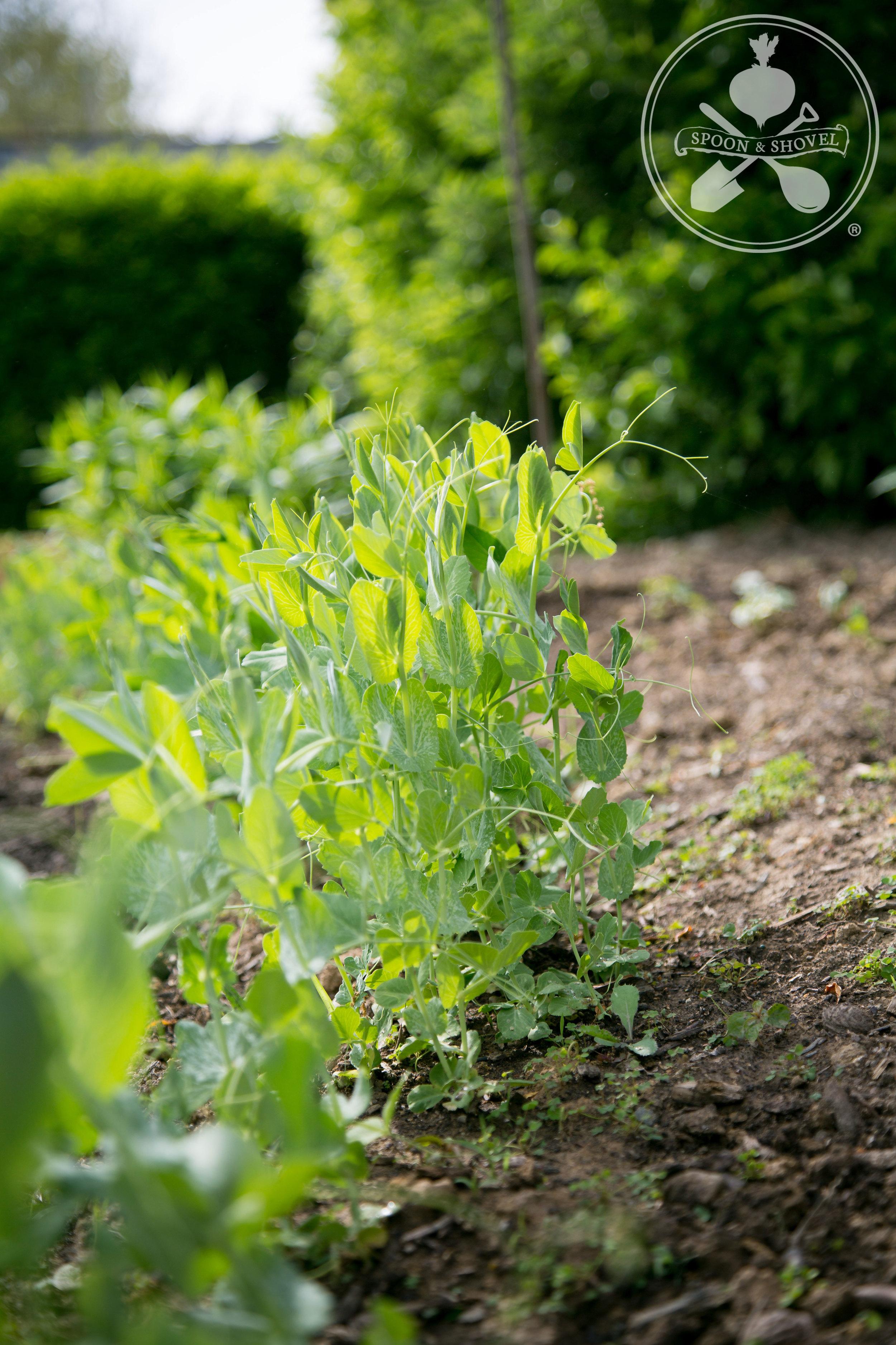 Garden update II (summer 2015) from The Spoon + Shovel