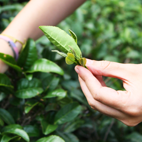 May 18: Tea Picking & Processing Class