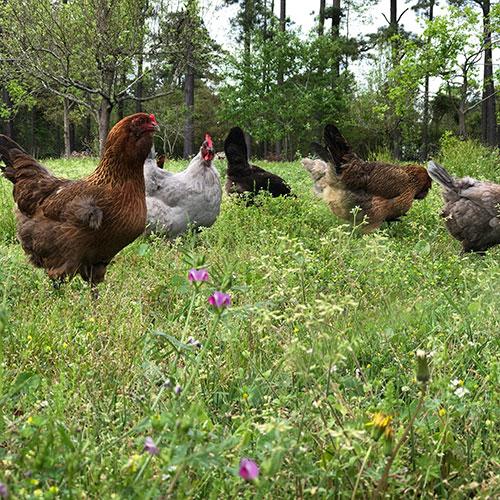 HOOF-Chickens.jpg