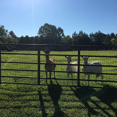 HOOF-Goats.jpg