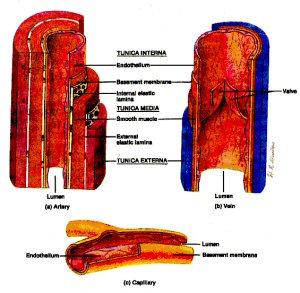 vein_anatomy300.jpg