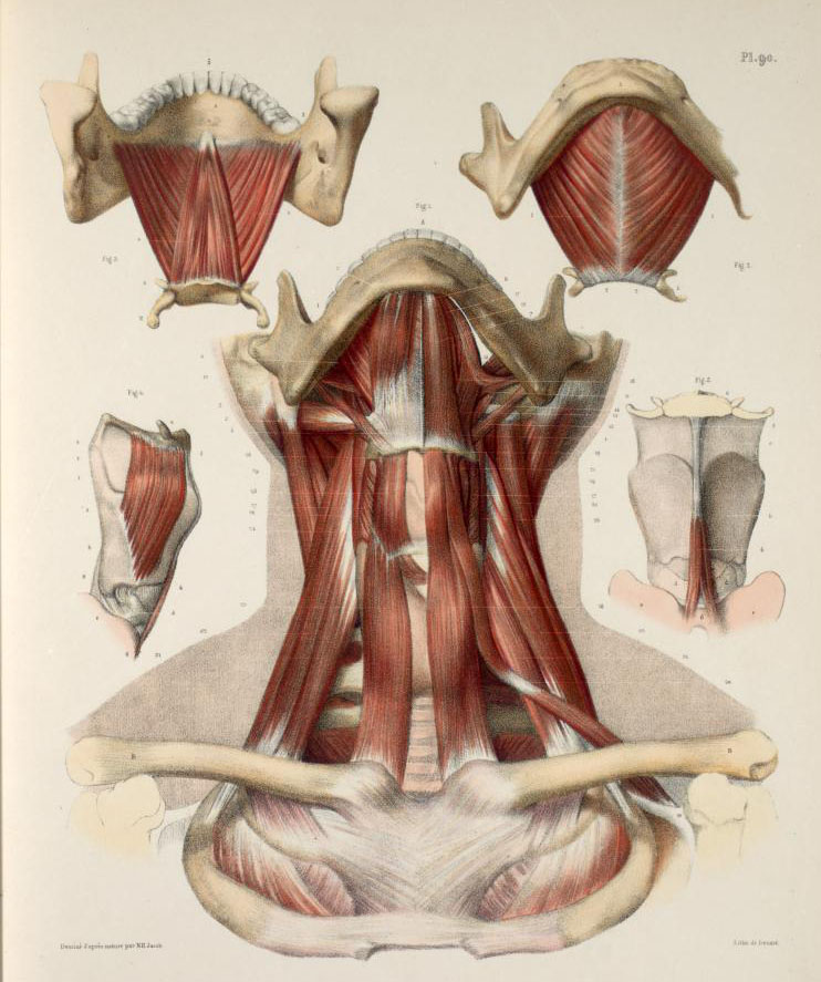 Neck muscles, with mandible, hyoid bone, clavicles and laryngeal cartilages (1).jpg