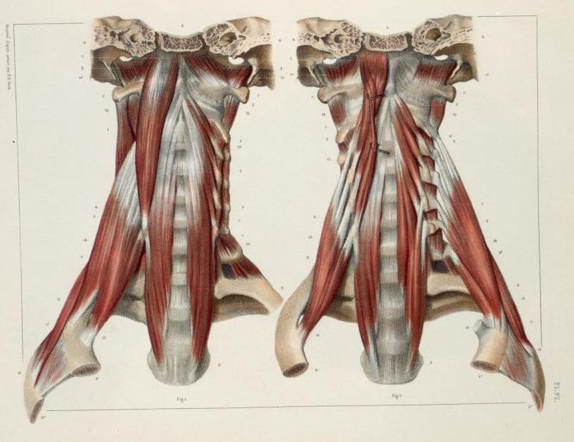 Neck muscles.jpg