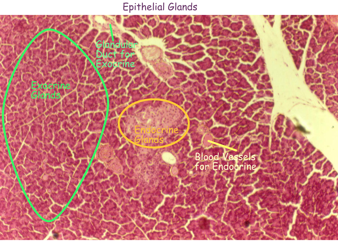 tissues_histo_EPI_GLANDULAR_exoendo_labeled.png