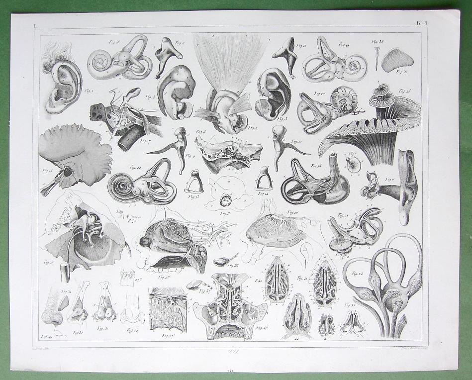 1851-Anatomy- Hearing.jpg