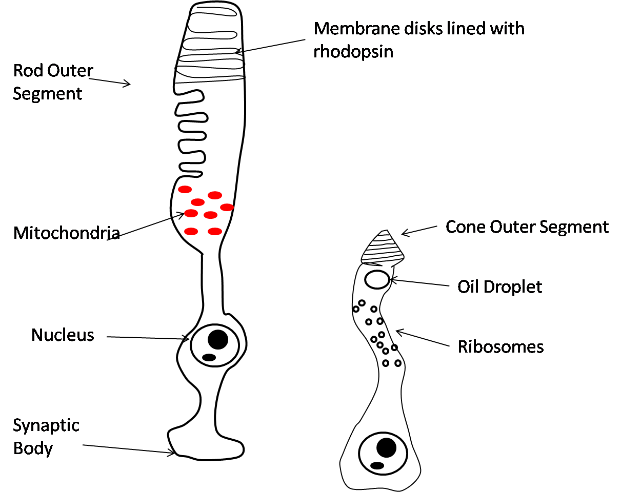 Structure_rods_cones.png