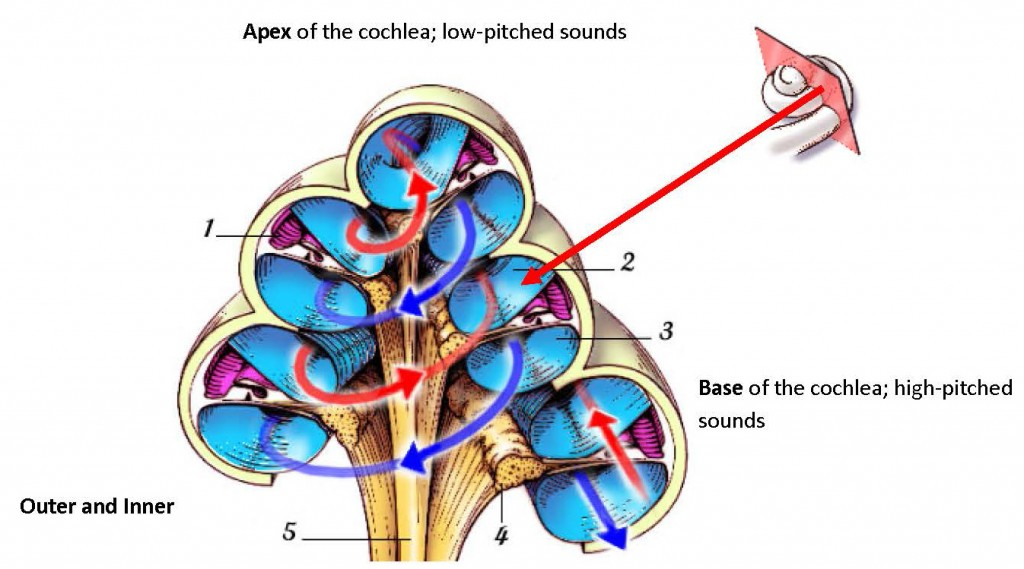 WHAT-cochlea-diagram-1024x569.jpg