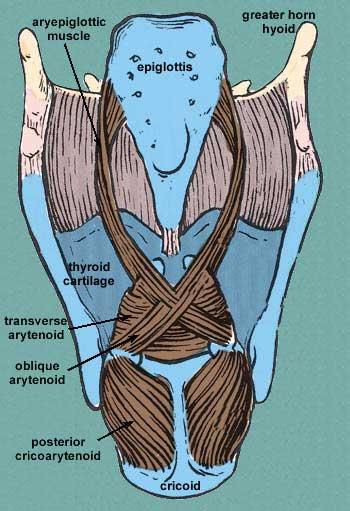 larynxmuscles.jpg