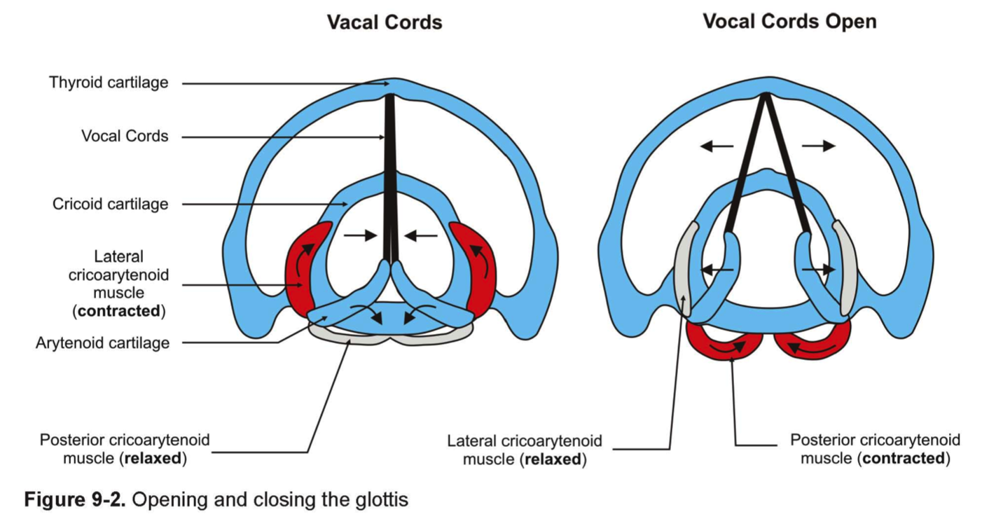 vocal_cords1353891825978.png