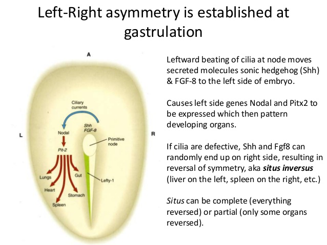 introduction-to-embryology-62-638.jpg
