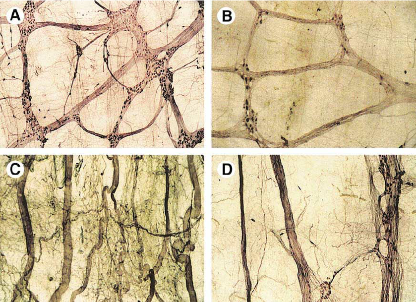 Figure-3-Architecture-of-the-ENS-myenteric-plexus-A-Control-group-The-nerve.png