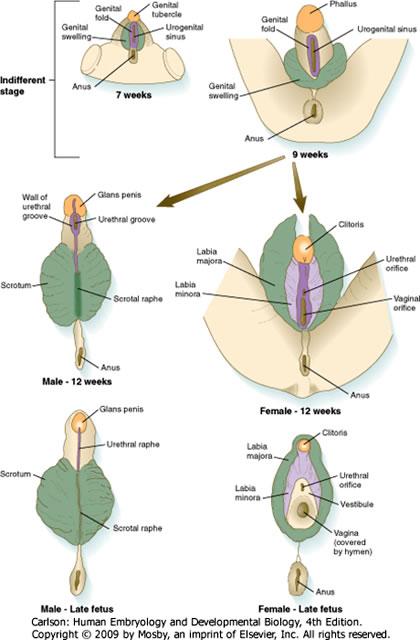 female and male genitaliaEmbyology.jpg