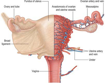 uterus connectrive tissue.jpg