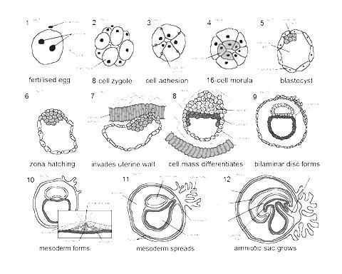 human-embryogenesis.jpg