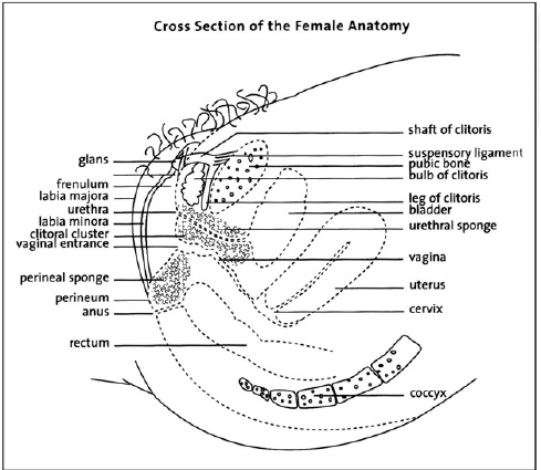 Female Anatomy Side View.jpg