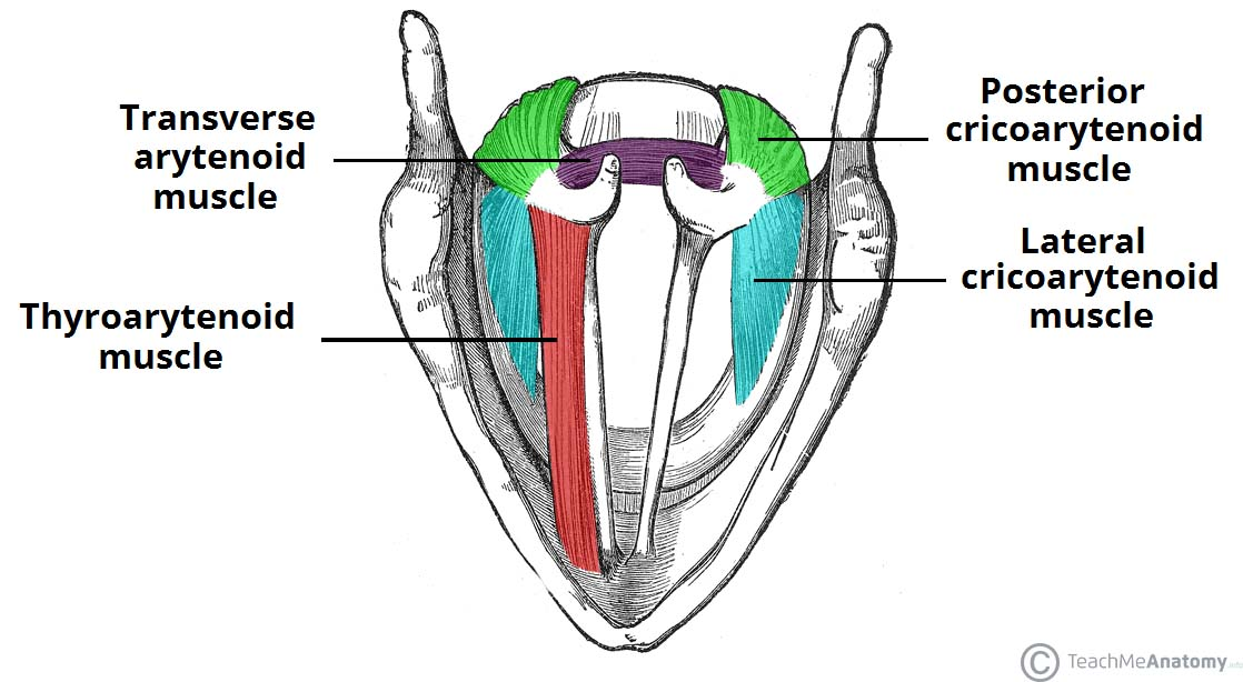 Superior-View-of-the-Muscles-of-the-Larynx (1).jpg
