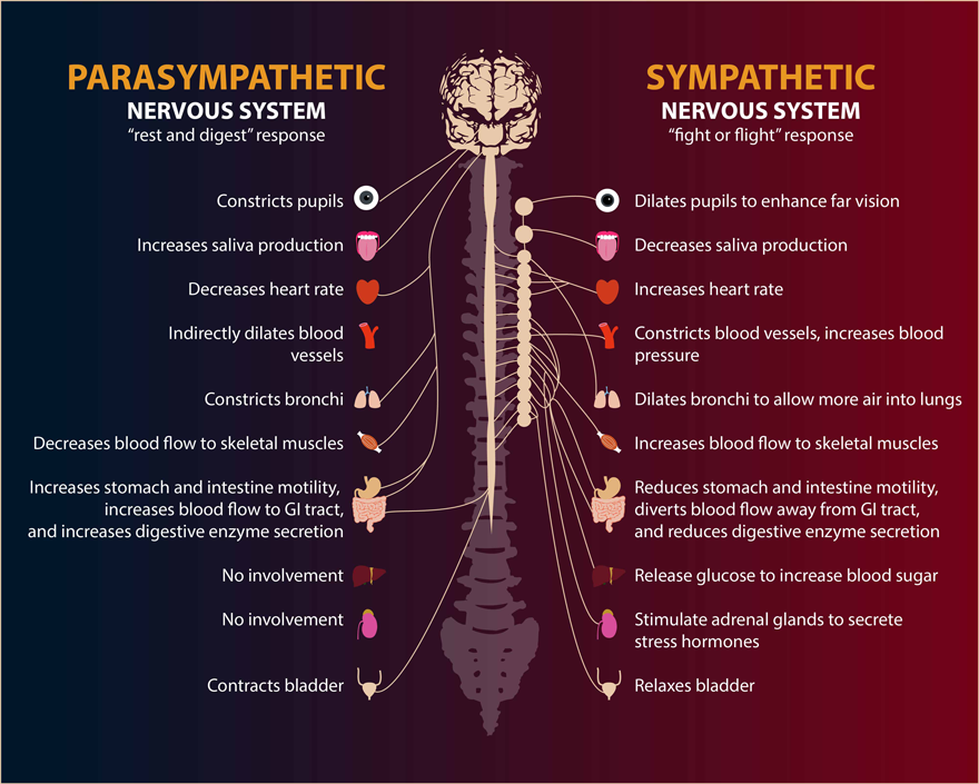 Blog025_autonomic-nervous-system.png