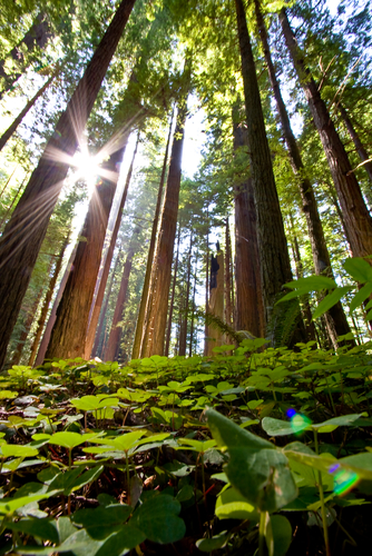 Giant redwoods grow close together, so their leaf growth happens at the top to get the most sunlight, also allowing for undergrowth to flourish. (Stock photo)