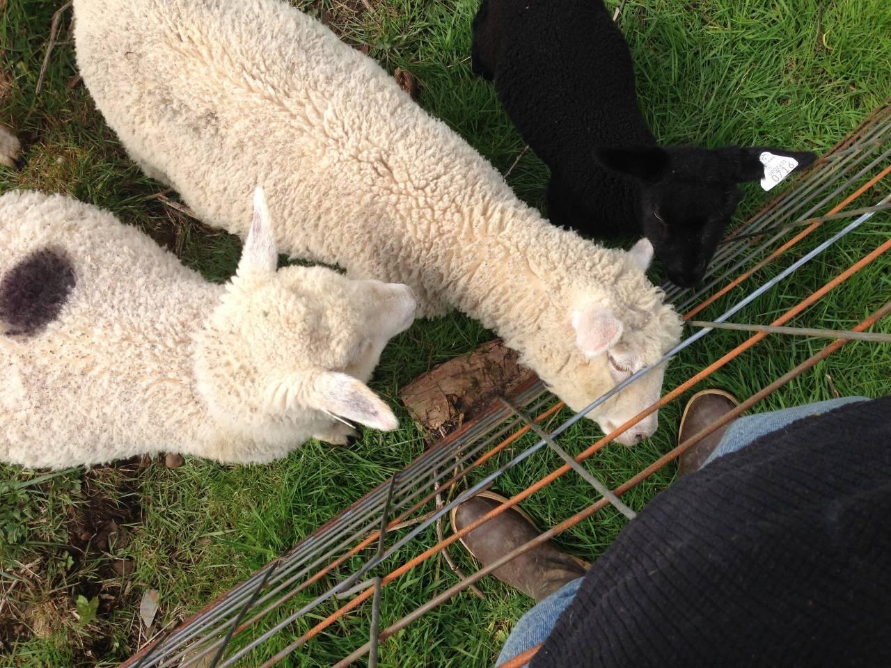 meadow harvest lambs.jpg
