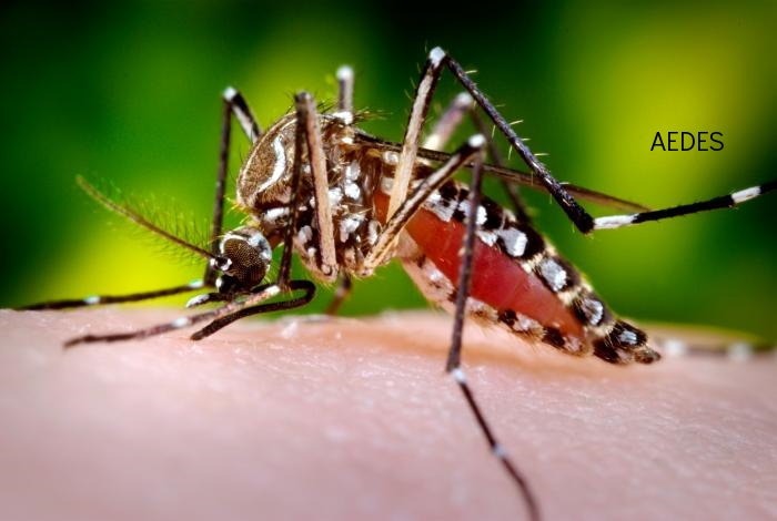 aedes mosquito.jpg