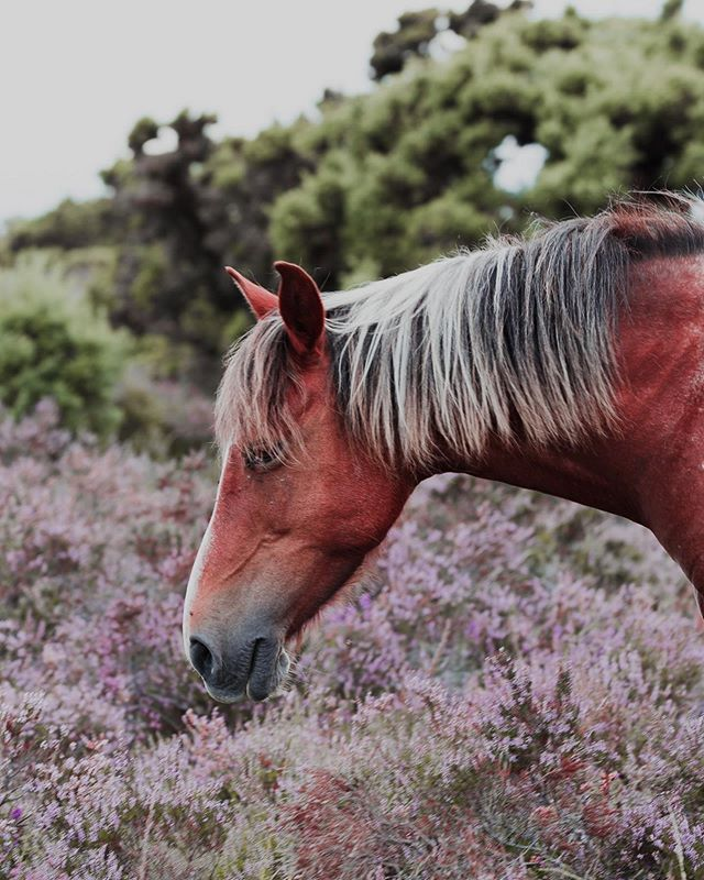 These beauties roam wild in New Forest 😍 . #newforest #uk #nationalpark #ponies #horses #wildhorses #summer #nationalpark #nature #naturephotography #igphotography #bluethumbart #fineartphotography #fineartphoto #exploreuk #explorebritain #burley #europe