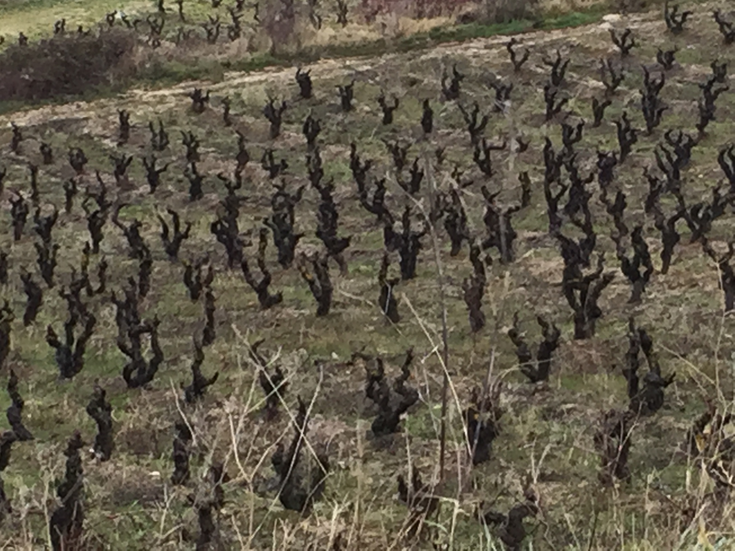 15 Hectares of Dry Farmed Bush VInes