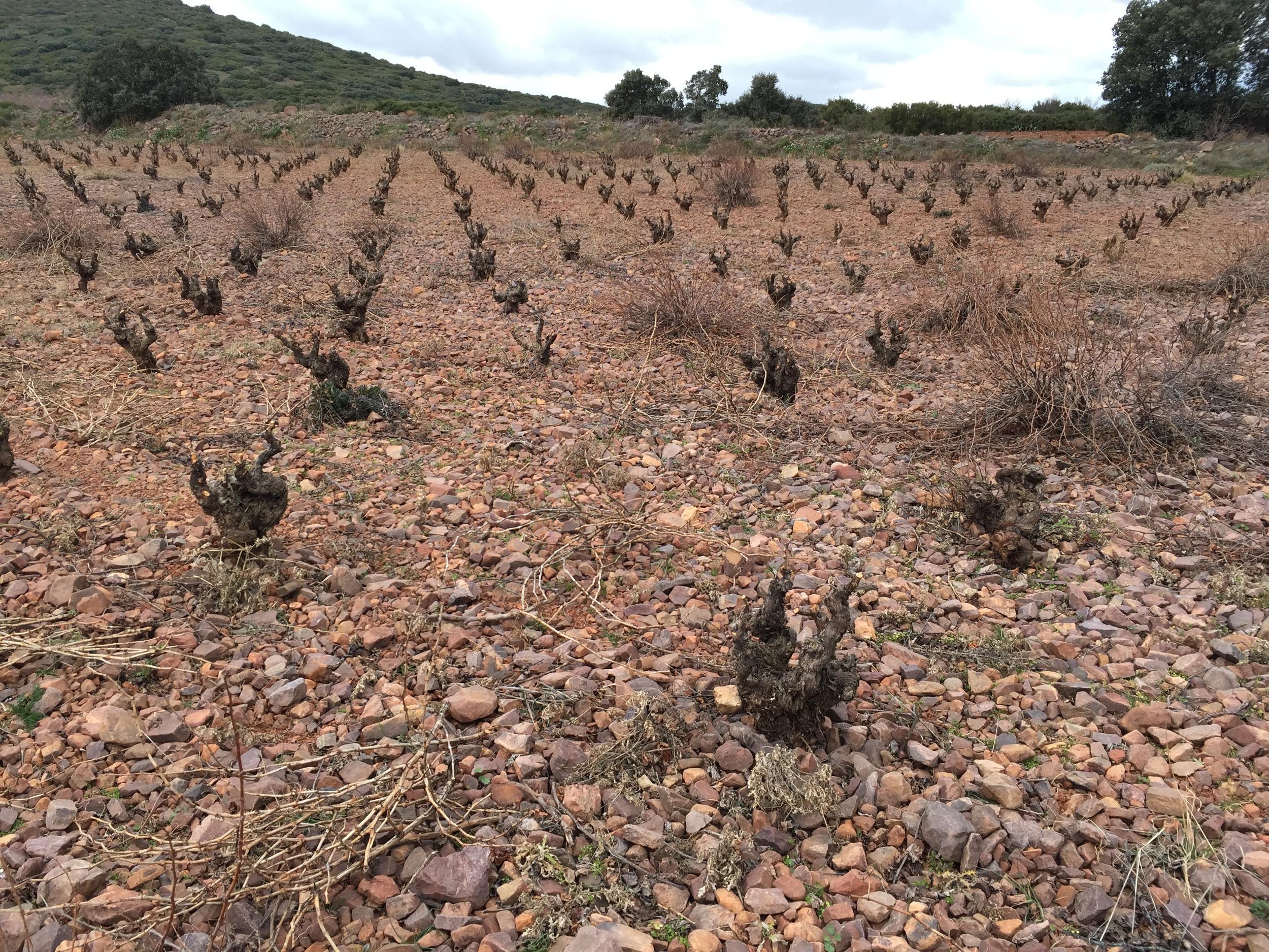 Bush vines in winter