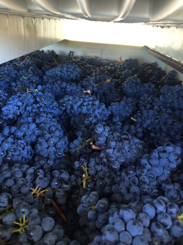 Grochau Cellars grapes.jpg