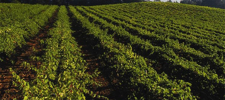 Lacueva vineyard 1.jpg