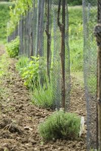 Mehofer herbs in vineyard.jpg