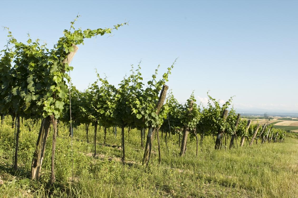 Mehofer vineyard.jpg