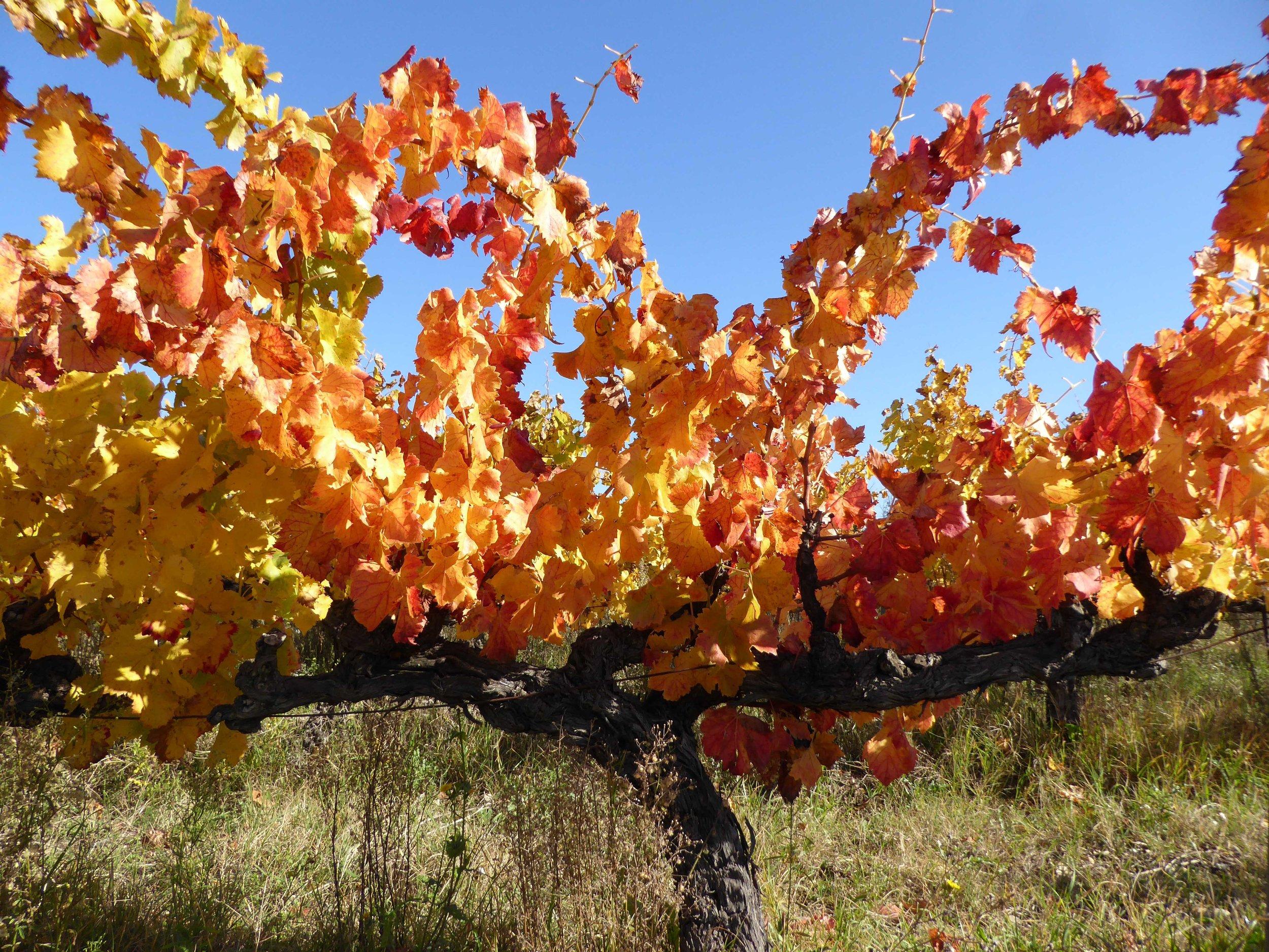 Vine in autumn.jpg