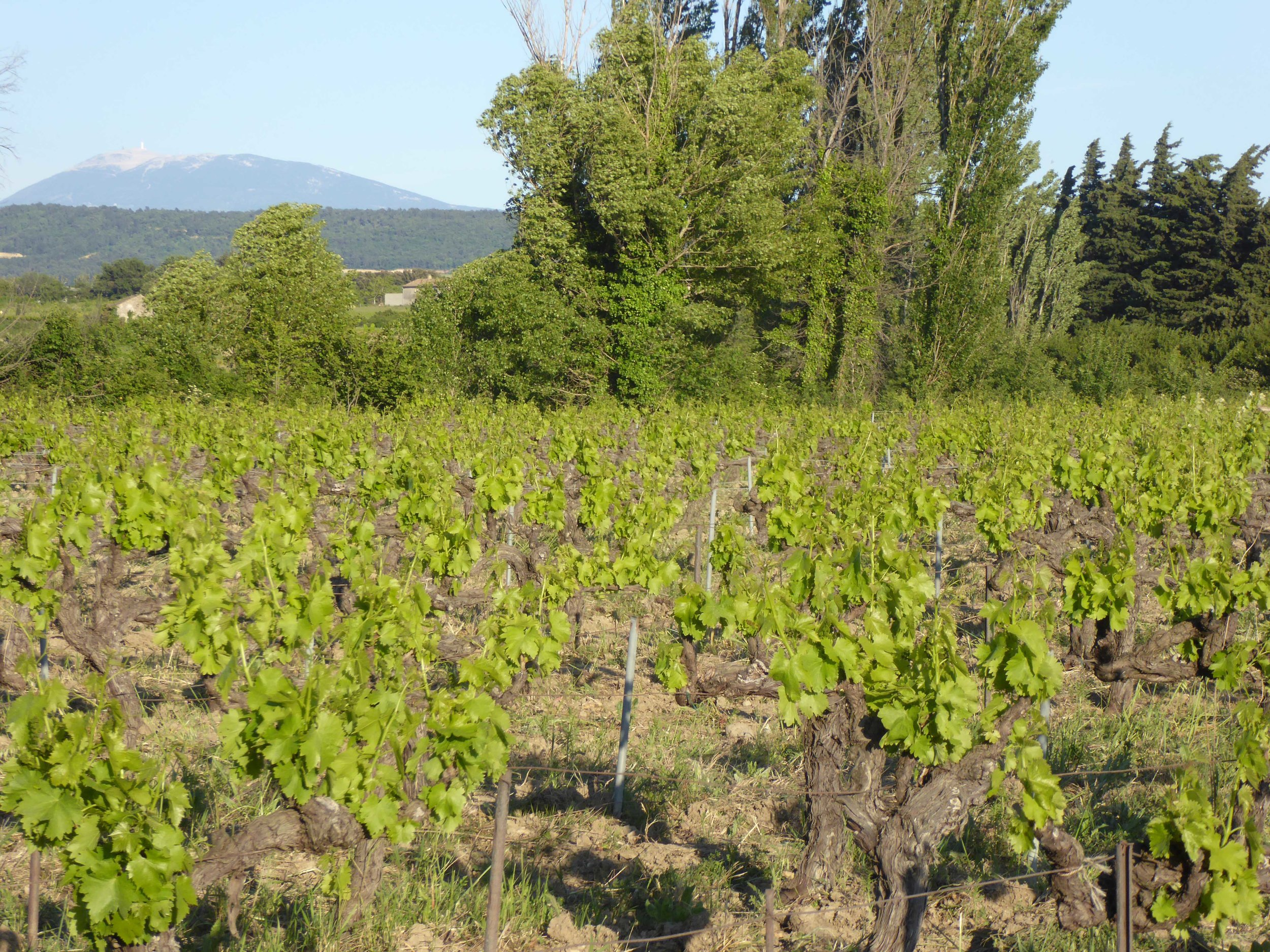 Vineyard leafing out.jpg