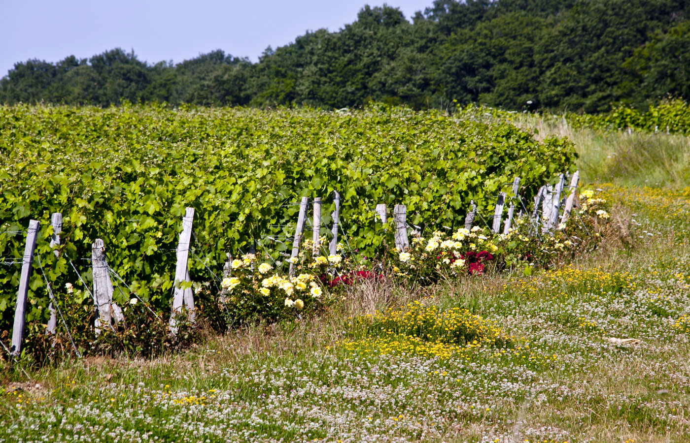 Vineyard rows with roses.jpg