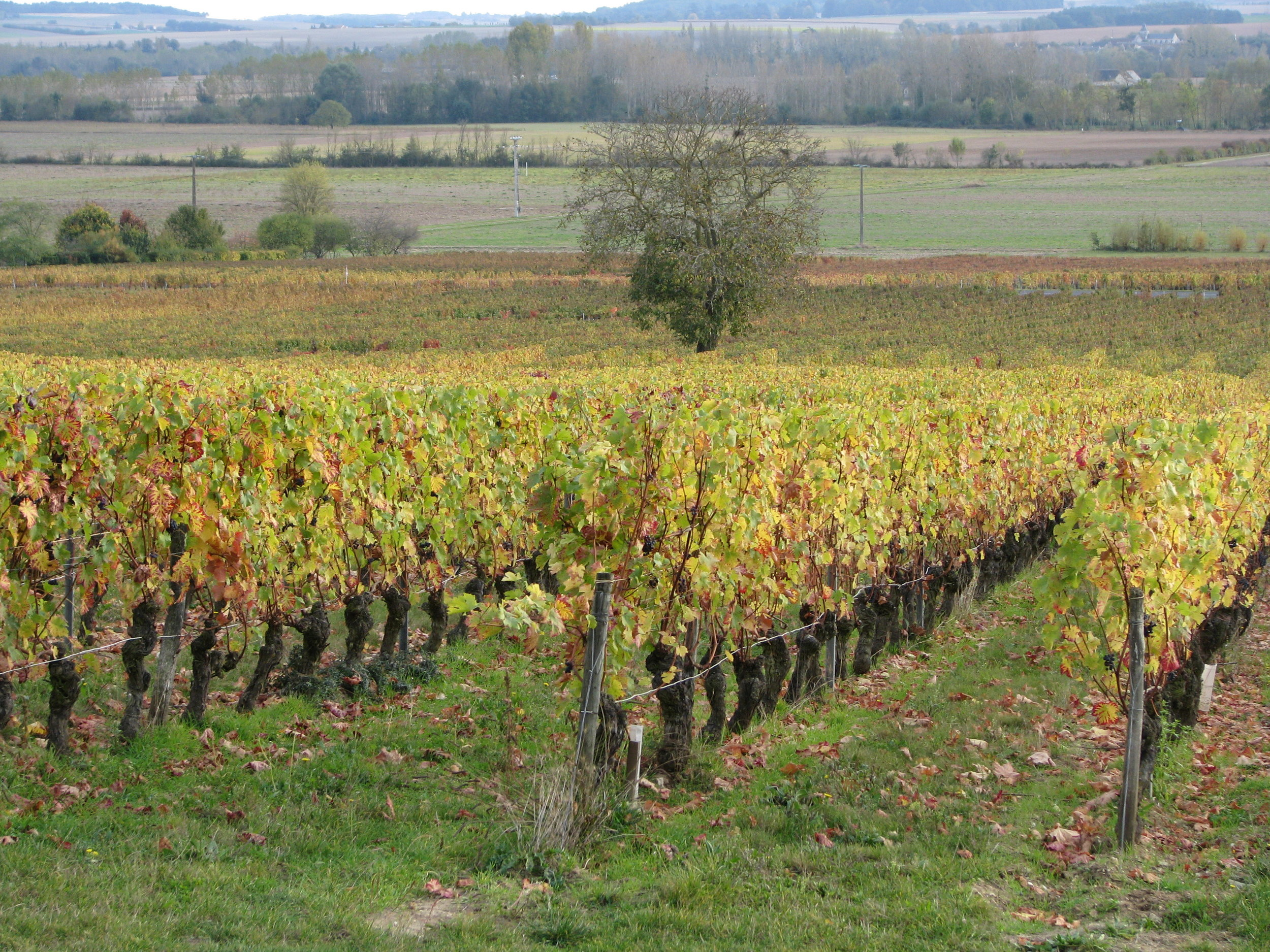L'Arpenty vine in autumn.JPG