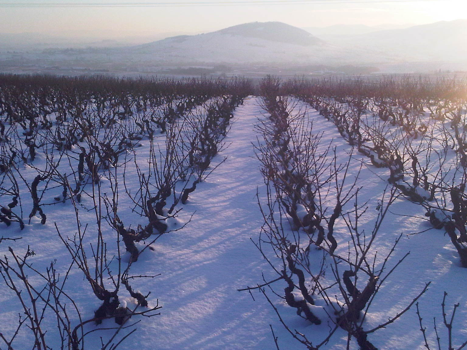 Vines in Winter.jpg