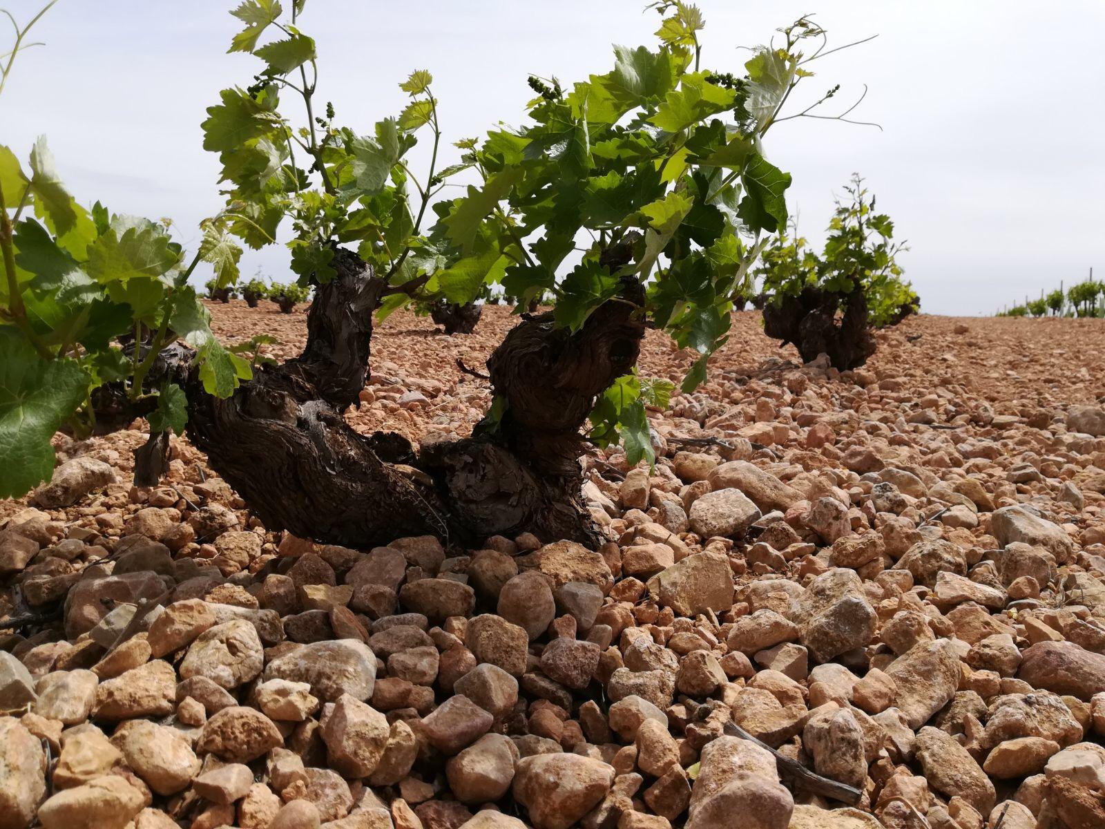Old vines, rocky soils.jpeg
