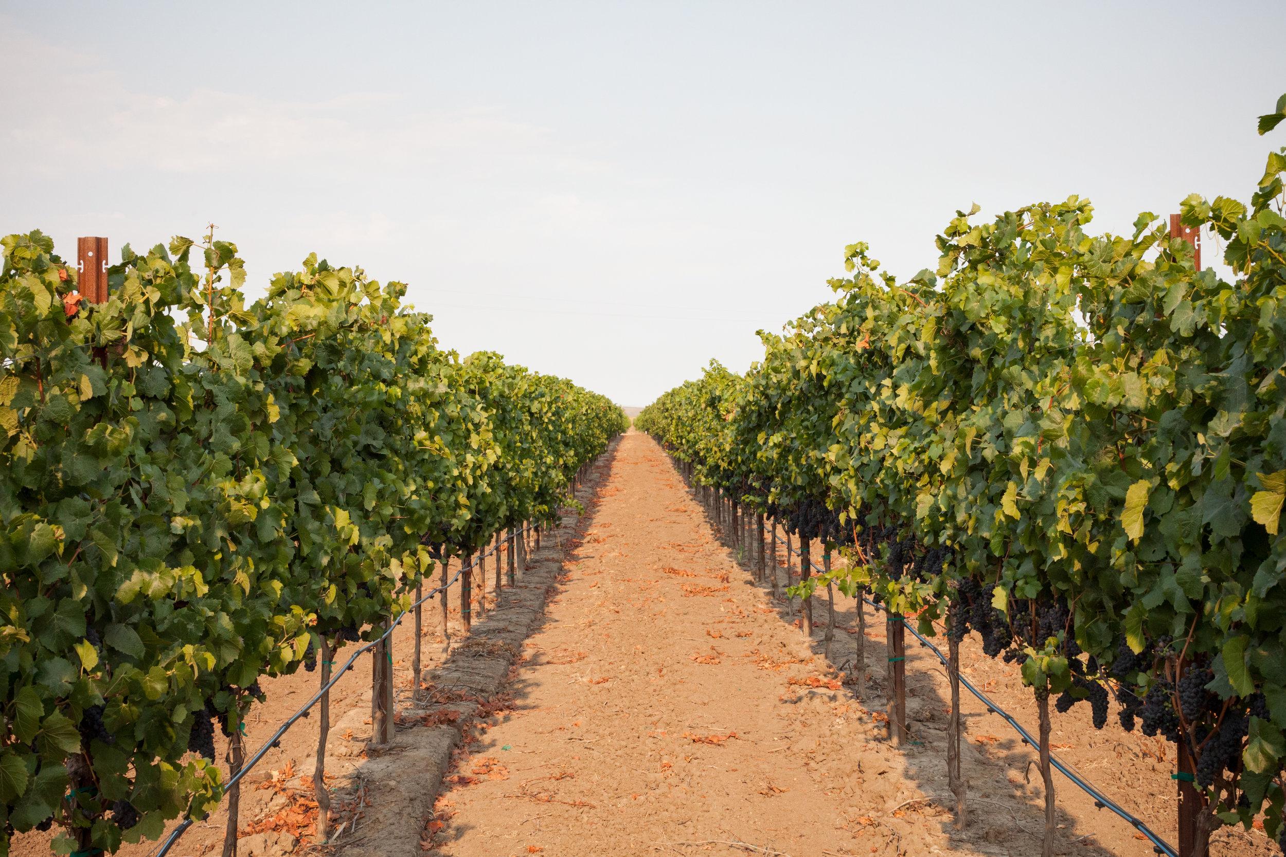 Vineyard rows.jpg