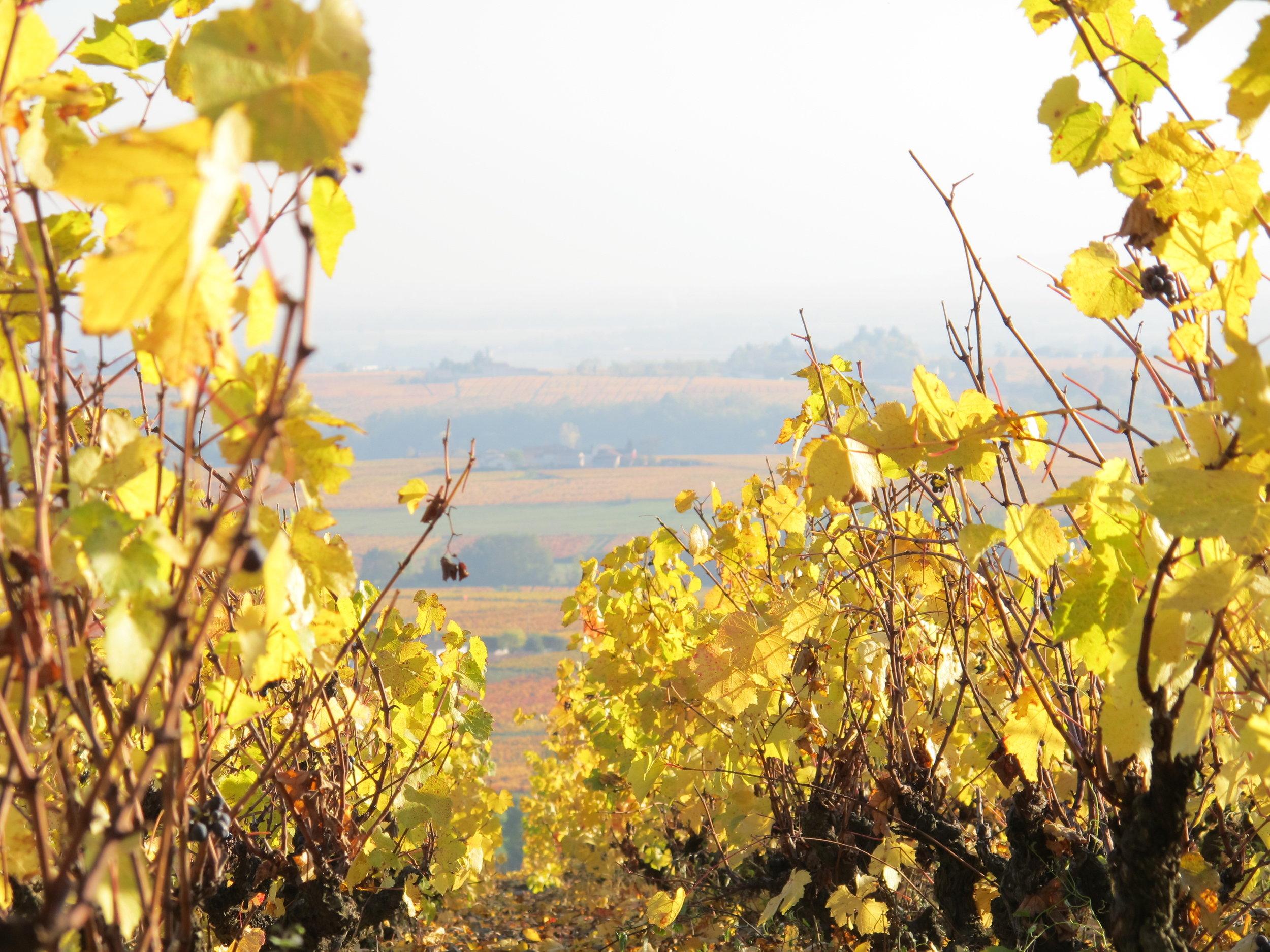 Vines in Autumn closeup.JPG