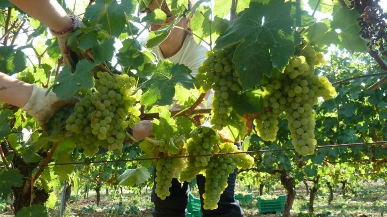 Verdicchio, vino, vitigno, storia, caratteristiche organolettiche del grande vino bianco delle Marche.jpg