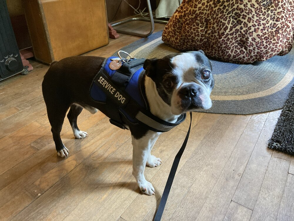 Boston, the elderly, blind and allergic Boston Terrier who practically stole the show