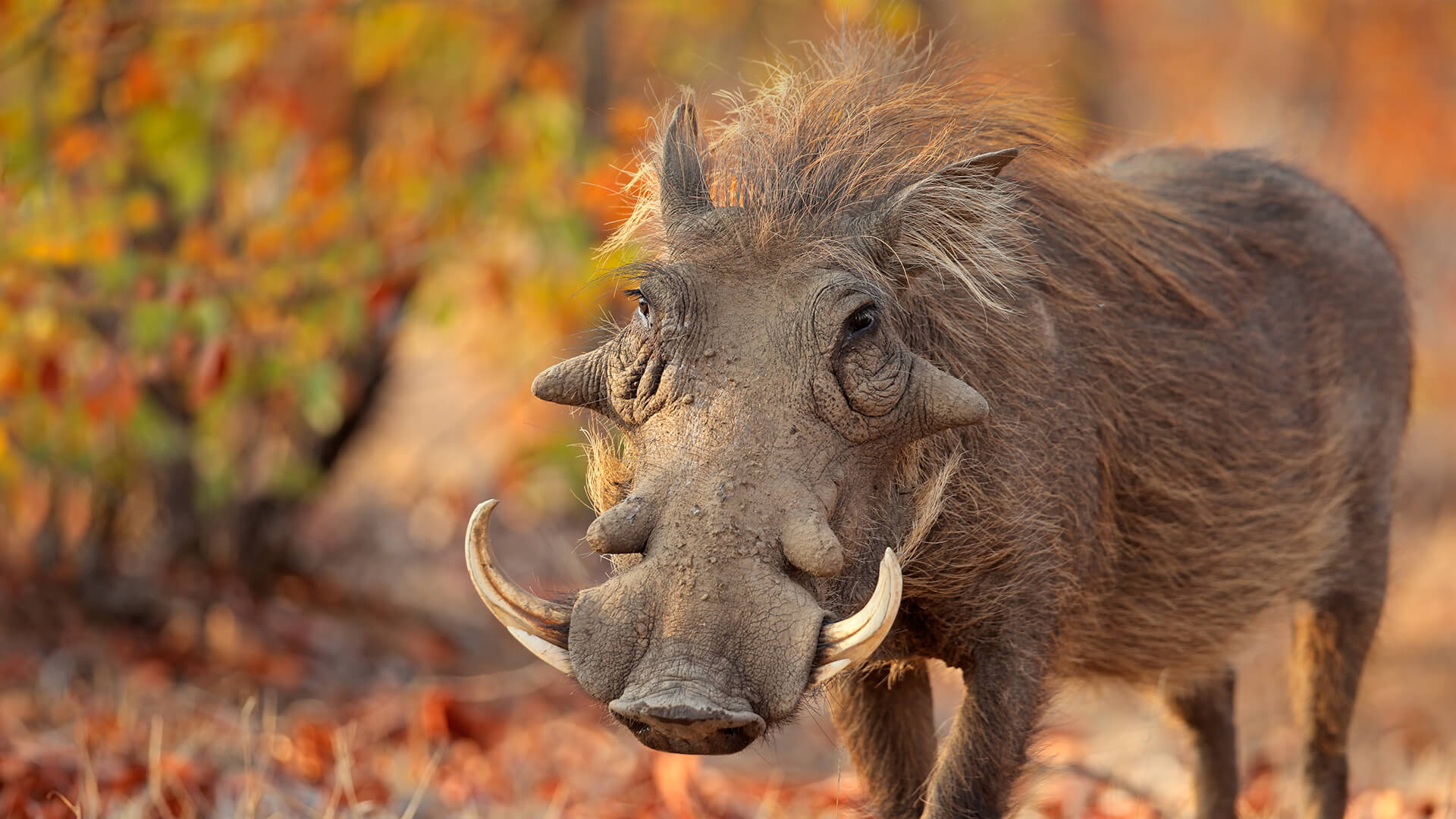 animals_hero_warthog.jpg