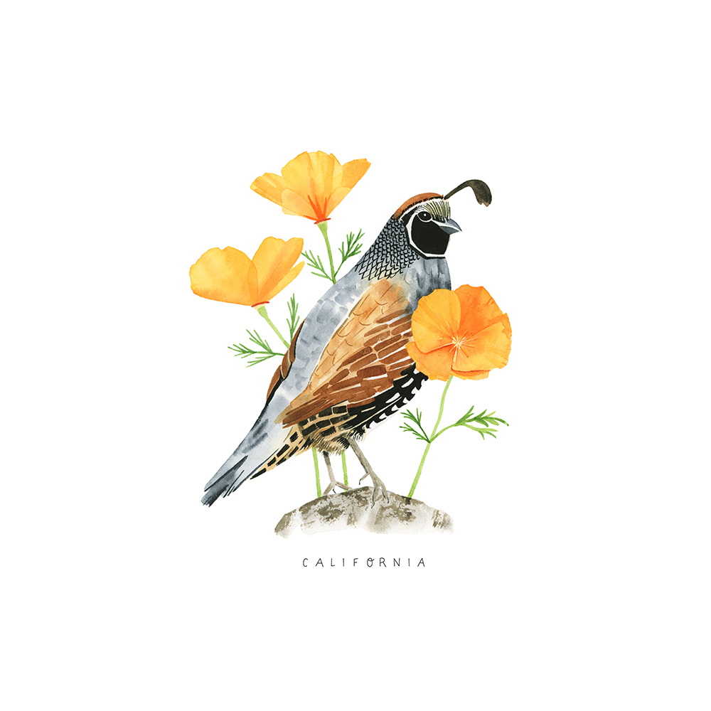 California Quail Watercolor Artwork